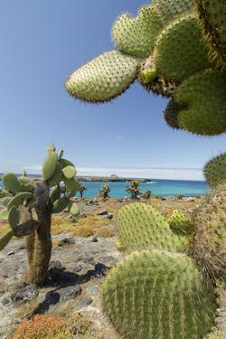 Giant Prickly Pear Cactus, South Plaza Island, Galapagos, Ecuador by Cindy Miller Hopkins