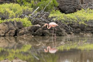 Greater Flamingo in Lagoon, Santa Cruz Island, Galapagos, Ecuador by Cindy Miller Hopkins