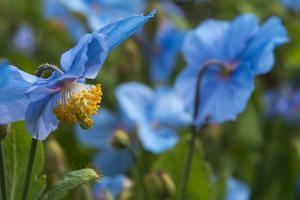 Iceland, Akureyri. Blue Poppies in the Botanical Garden Lystigaardur by Cindy Miller Hopkins
