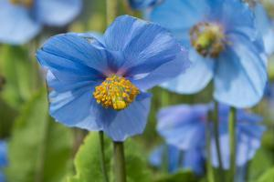 Iceland, Akureyri. Blue Poppies in the Botanical Garden Lystigaardur by Cindy Miller Hopkins