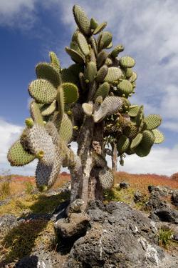 Land Iguana under Prickly Pear Cactus, South Plaza Island, Ecuador by Cindy Miller Hopkins