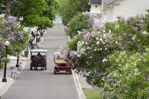 Lilac Lined Street with Horse Carriage, Mackinac Island, Michigan, USA by Cindy Miller Hopkins