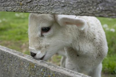 New York. Baby lamb looking through fence. by Cindy Miller Hopkins