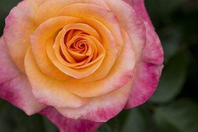 New York, Colorful pink and yellow rose. by Cindy Miller Hopkins