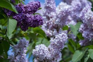 New York. Lilac flowers in bloom. by Cindy Miller Hopkins
