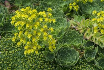 New Zealand, South Island, Dunedin, Otago Peninsula. Succulent Garden. by Cindy Miller Hopkins
