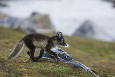 Norway, Svalbard, Spitsbergen. Hornsund, Gnalodden, arctic fox (Vulpes Lagopus) with summer coat. by Cindy Miller Hopkins