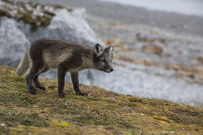 Norway, Svalbard, Spitsbergen. Hornsund, Gnalodden, arctic fox with summer coat. by Cindy Miller Hopkins