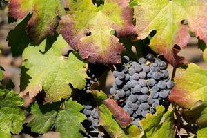 Purple Wine Grapes on the Vine, Napa Valley, California, USA by Cindy Miller Hopkins