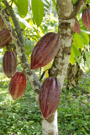 Ripe Red Cacao Pods, Agouti Cacao Farm, Punta Gorda, Belize by Cindy Miller Hopkins