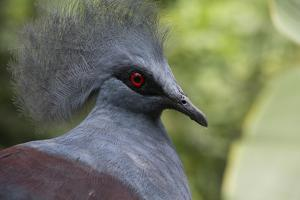 Singapore, Jurong Bird Park. Head Detail of Common Crowned Pigeon by Cindy Miller Hopkins