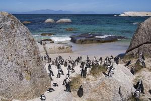South Africa, Cape Town, Simon's Town, Boulders Beach. African penguin colony. by Cindy Miller Hopkins