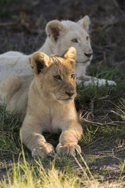 South Africa, East London. Inkwenkwezi Game Reserve. Lion Cubs by Cindy Miller Hopkins