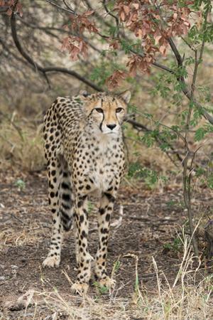 South Africa, Pretoria, Ann van Dye Cheetah Center. Cheetah. by Cindy Miller Hopkins