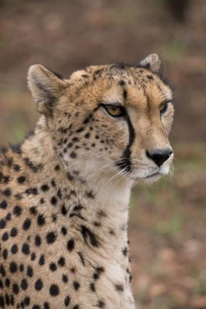 South Africa, Pretoria, Ann van Dyk Cheetah Center. Cheetah. by Cindy Miller Hopkins