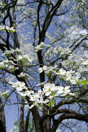 USA, Tennessee, Nashville. Flowering dogwood tree at The Hermitage. by Cindy Miller Hopkins