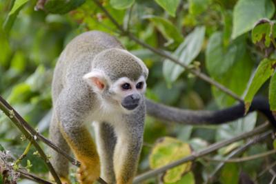 Wild Squirrel Monkey in Tree, Ile Royale, French Guiana