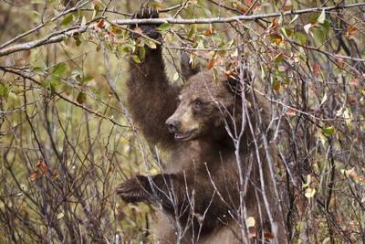 https://imgc.allpostersimages.com/img/posters/cinnamon-black-bear-ursus-americanus-hangs-on-a-chokeberry-branch-in-autumn-fall_u-L-PQ8R9B0.jpg?p=0