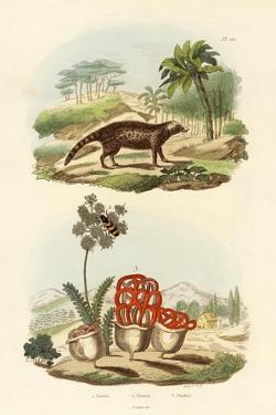 Civet, 1833-39