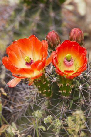 https://imgc.allpostersimages.com/img/posters/claret-cup-cactus-arizona-sonora-desert-museum-tucson-arizona-usa_u-L-PXR7LE0.jpg?p=0