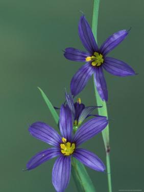 Blue Eyed Grass, Clarkston, Michigan, USA by Claudia Adams