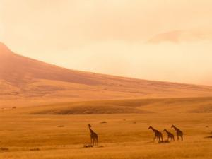 Desert Giraffes in the Mist, Namibia by Claudia Adams
