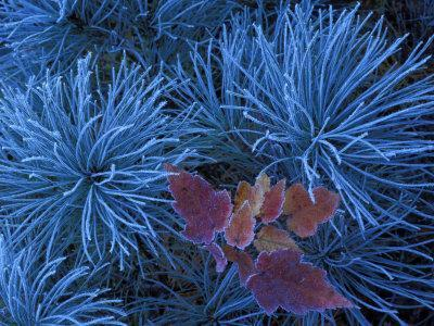Frosty Maple Seedling in Pine Tree, Wetmore, Michigan, USA