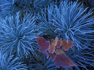 Frosty Maple Seedling in Pine Tree, Wetmore, Michigan, USA by Claudia Adams