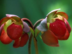 God Rays on Pitcher Plant Blossom, St. Ignace, Michigan, USA by Claudia Adams