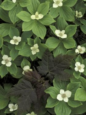 Maple Seedling in Bunchberry, Michigan, USA by Claudia Adams