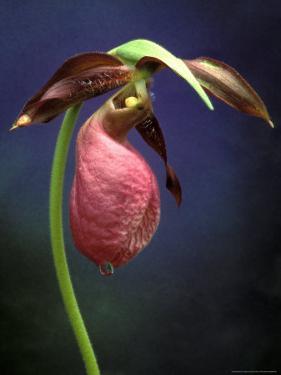 Pink Lady Slipper, St. Clair Nature Preserve, Michigan, USA by Claudia Adams