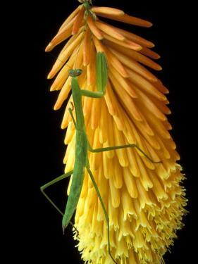 Praying Mantis on Red Hot Poker Plant, Rochester Hills, Michigan, USA by Claudia Adams