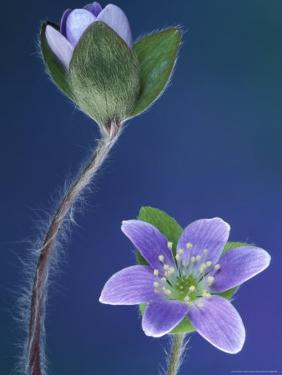 Round-Lobed Hepatica Bud and Fleur, Lapeer, Michigan, USA by Claudia Adams