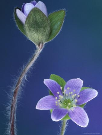 Round-Lobed Hepatica Bud and Fleur, Lapeer, Michigan, USA