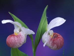 Showy Lady's Slippers, Bruce Peninsula National Park, Michigan, USA by Claudia Adams