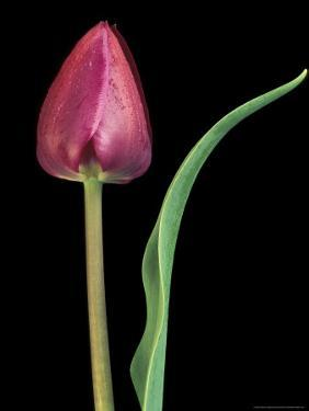 Single Tulip Stem, Maplethorpe Style, Rochester, Michigan, USA by Claudia Adams