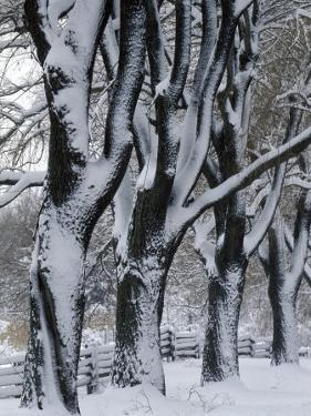 Snowy Weeping Willows, Trees and Fence, Oakland County, Michigan, USA by Claudia Adams