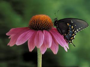 Spicebush Swallowtail on Mullin, Rochester, Michigan, USA by Claudia Adams