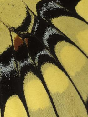 Swallowtail Butterfly Wing Detail, Michigan, USA by Claudia Adams