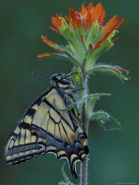 Tiger Swallowtail on Indian Paintbrush, Houghton Lake, Michigan, USA by Claudia Adams