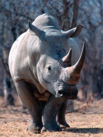 White Square-Lipped Rhino, Namibia