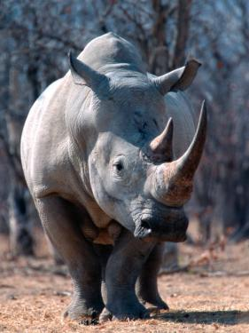 White Square-Lipped Rhino, Namibia by Claudia Adams