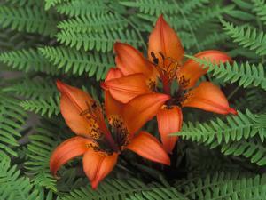 Wood Lilies in Ferns, Bruce Peninsula National Park, Canada by Claudia Adams