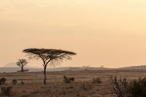 Acacia and Baobab Trees by Claudia Uribe