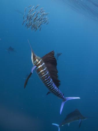 Atlantic Sailfish (Istiophorus Albicans) Attacking School of Sardine (Sardinella Aurita) Bait Ball