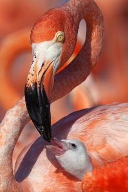 Caribbean Flamingo (Phoenicopterus Ruber) Adult Feeding Chick by Claudio Contreras