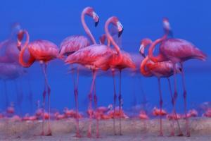 Caribbean Flamingo (Phoenicopterus Ruber) Preparing to Sleep by Claudio Contreras