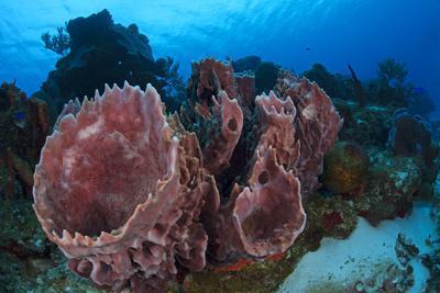 Giant Barrel Sponge (Xestospongia Muta) Cozumel Reefs National Park