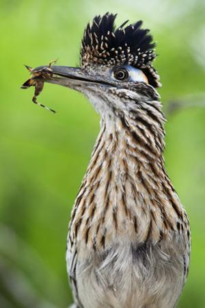 Greater Roadrunner (Geococcyx Californianus) with Nuptial Gift Calling Mate