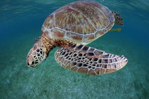 Green Turtle (Chelonia Mydas) Akumal, Caribbean Sea, Mexico, January. Endangered Species by Claudio Contreras